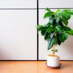 コーヒーノキ(コーヒーの木)の種類と特徴とは?